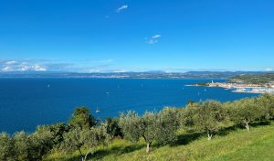 olive trees on a terrace overlook the Adriatic Sea and Izola, Slovenia